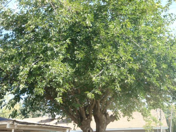 Mulberry tree trimmed nov 5th 2010