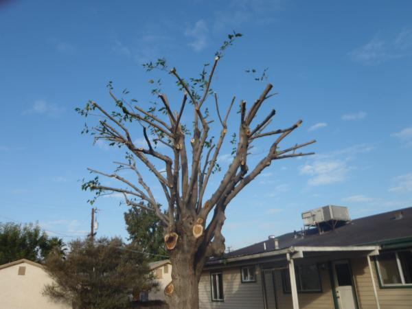 Mulberry Tree Trimmed Nov 5th 2010 Tree Service Bakersfield