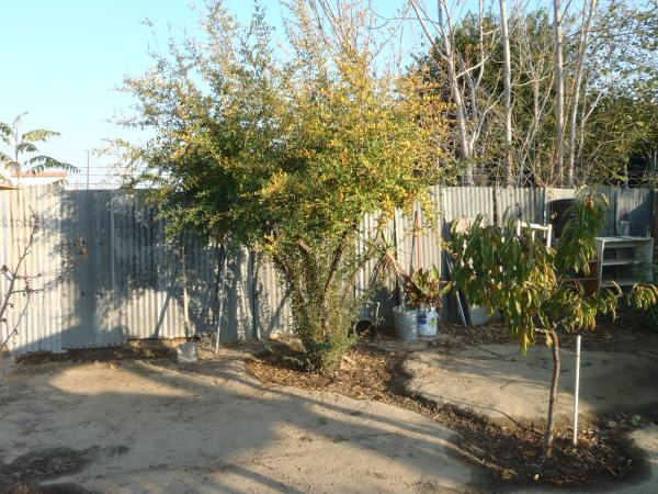 trimmed Pomegranate fruit tree