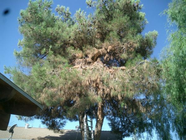 Black pine & Pepper tree Before & after