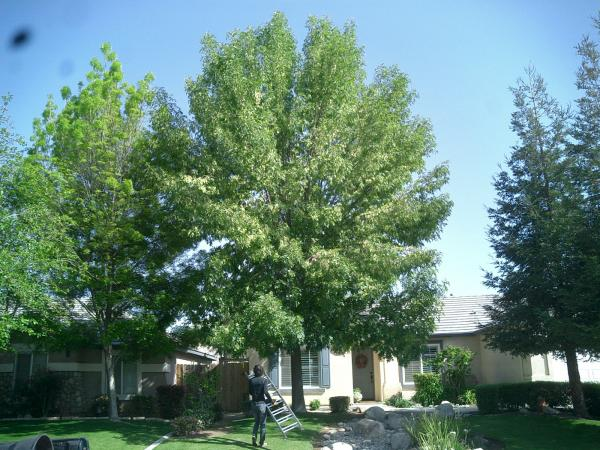 Ash tree trimmed before and after.