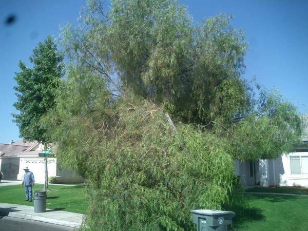 What Happen when a Pepper tree got to Heavy!! Before & After
