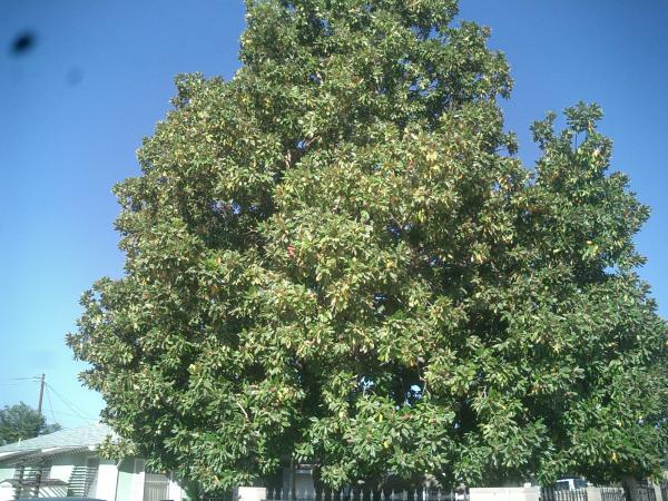 Very Old Magnolia tree trimmed Before & After