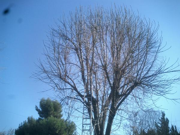 Ash tree trimmed