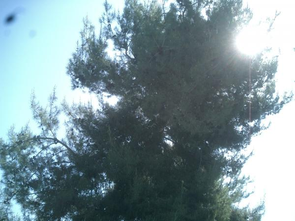 Big Pine Tree trimmed