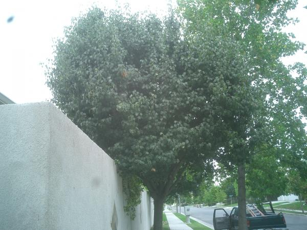 Bradford Pear Before $ After