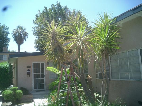 OLD YUCCA trimmed Before & After