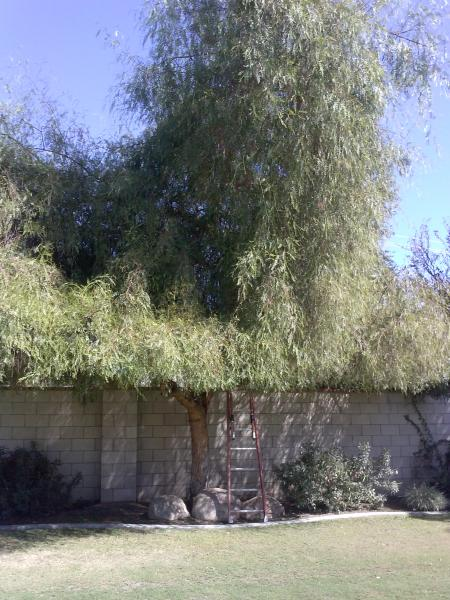 Pepper Tree Trimmed Before& After