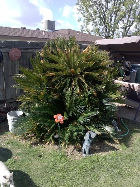 Sago Palm 20 years old