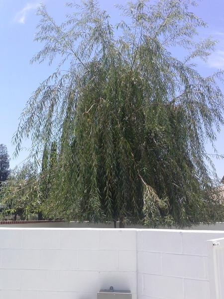 Weeping Willow,Crape myrtle,and olive TRIMMED to match a very Interesting looking Home.