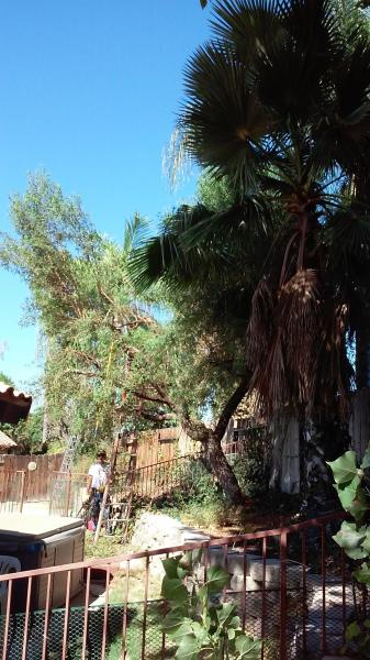 Sumac Tree and a couple of Queen Palms Trimmed