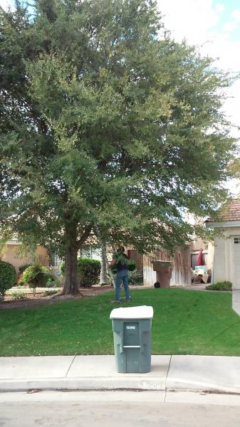 Chinese Elm Before And After