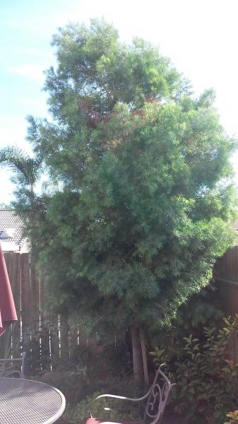 Two Podocarpus Before And After