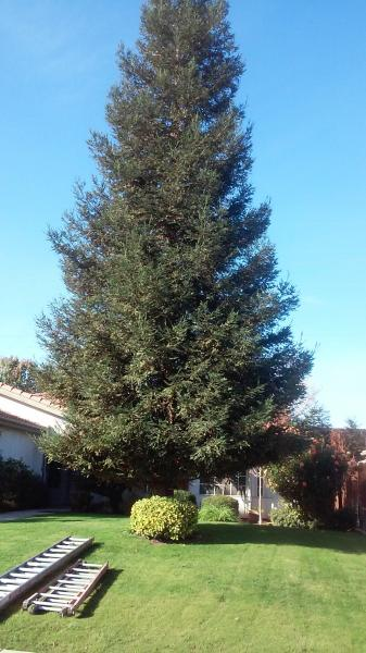 RedWood never been Trimmed, Good for me !!!!