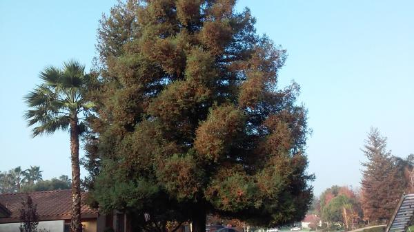 Giant Redwood Tree Before & After