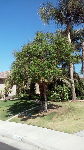Queen Palms,locust tree & Chinese Manolia Trimmed.