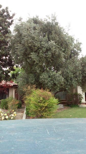 Olive tree Before & After