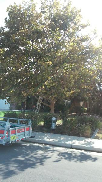 Sycamore tree Before & After