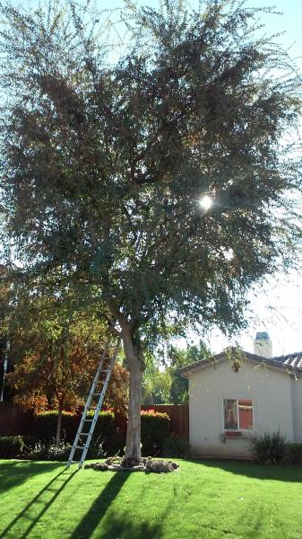 Chinese Elm Trimmed for CHRISTMAS LIGHTS BEFORE & After