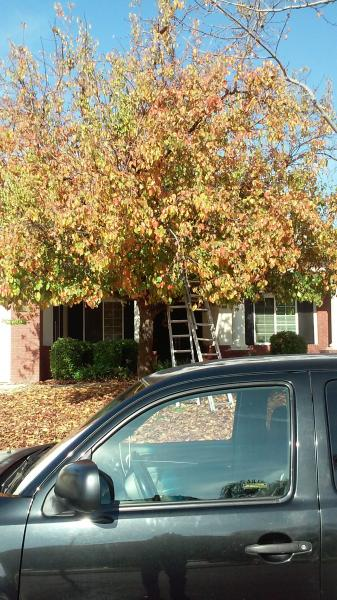 ORNAMENTAL FLOWERING PEAR BEFORE & AFTER