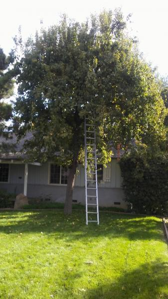 Ornamental pear trimmed