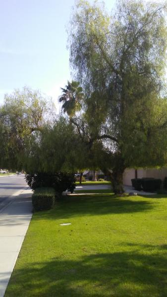 Out Of Control Pepper Tree Before And After