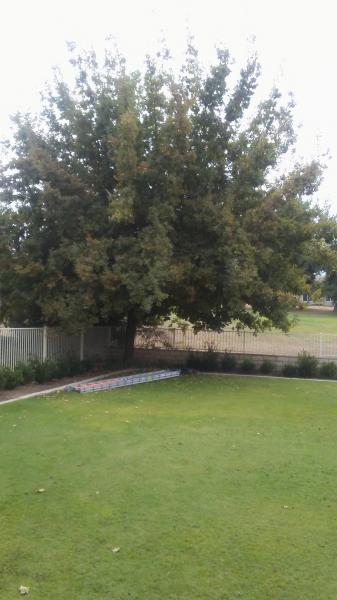 Pin Oak trimmed