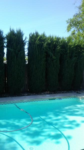 Italian Cypress Before & After