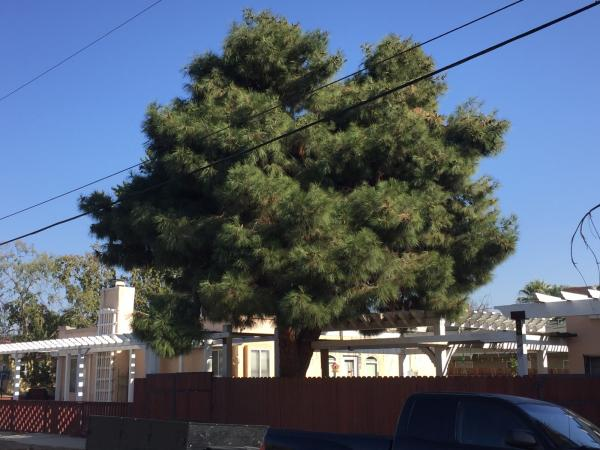 Big Pine never been trimmed