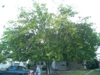 mulberry tree before & after