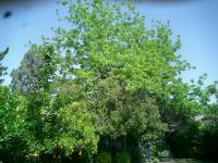 Pecan&Black Pine Before & after