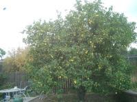Lemon tree trimmed