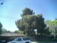 Large pine & a million Pine Cones