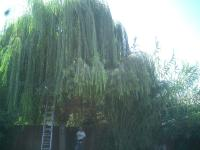 Weeping Willow Before & After