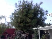 Jerrys Pine Tree Before & After