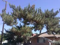 Black Pine Trimmed away from Cable