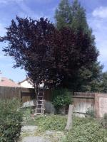 Bay and Fruitless Plum Trimmed