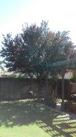 Flowering Plum & Camphor Tree Before & After