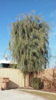 Weeping Willow and Sumack Ornamentaly Trimmed