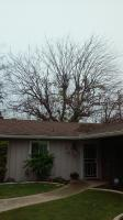 Big Mulberry  &  Elm Tree trimmed Before & After