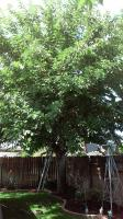 Mulberry trimmed properly