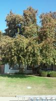 Flowering Pear Trimmed for New Solar Panels