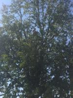 Trim Liquid Amber Tree 4 Solar Panels
