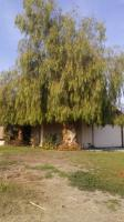 OLD BEAT UP PEPPER TREE GIVEN NEW START �