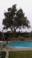 Very Old Olive tree trimmed Before & After �
