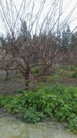 52 Fruit Tree's Trimmed & Shaped �