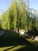 WEEPING WILLOW TRIMMED FOR THE FIRST TIME.
