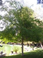 Elm 🌳 on a lake in Bako Trimed Before & After