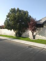 Trimmed Camphor at same house before & after