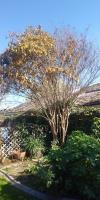 Ivy infested Crepe Myrtle & lemon Trimmed Before and After !!🐵